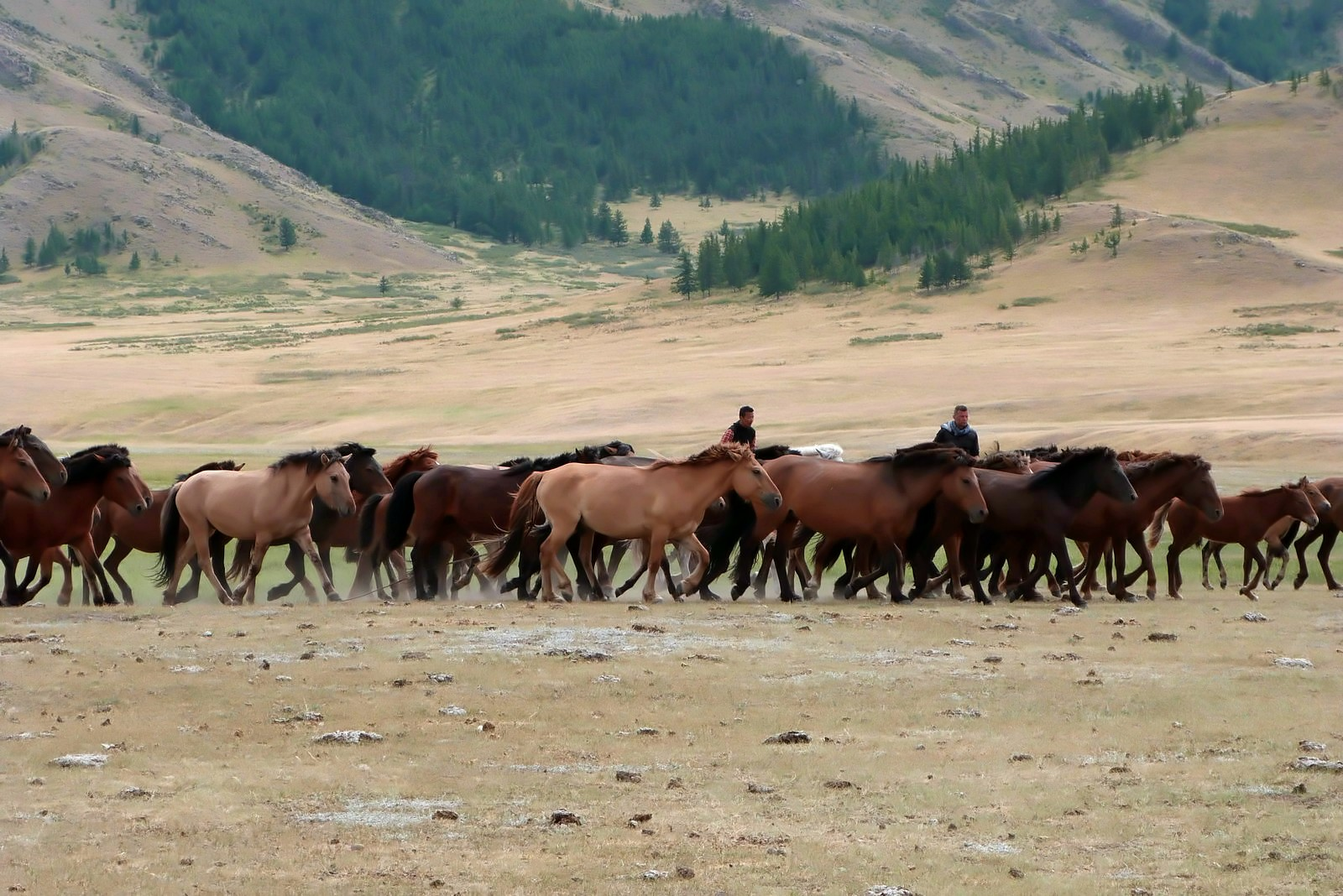 Horse herd in Mongolia